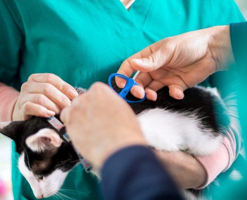 chippen van een kat